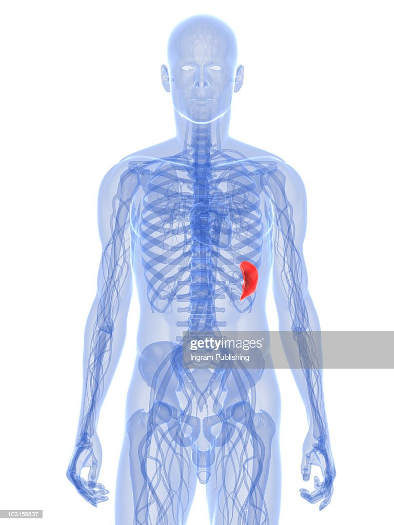 Spleen Stock Photos And Pictures Getty Images