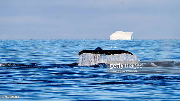 Humback whales are rather easy to spot as when undisturbed they show a regular behaviour, three times breathing in connection with occasional up to 3...