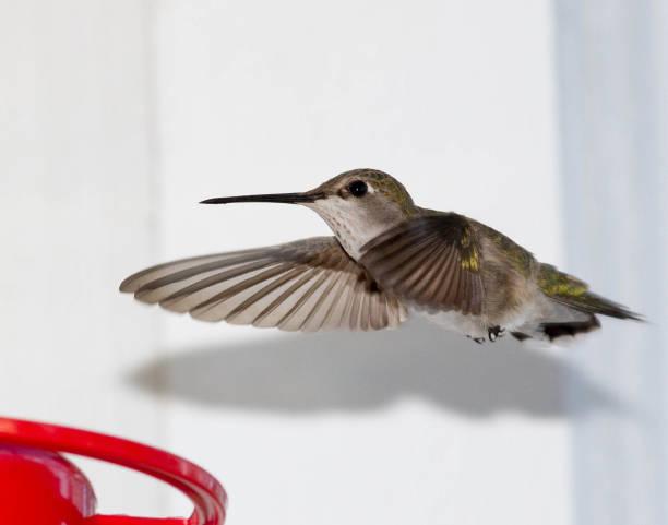 Humbird at feeder
