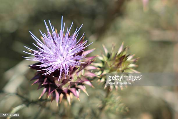 humble wild artichoke - iñaki respaldiza stock pictures, royalty-free photos & images