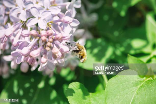 humblefly pollinates purple lilac flowers close-up - purple lilac stock pictures, royalty-free photos & images