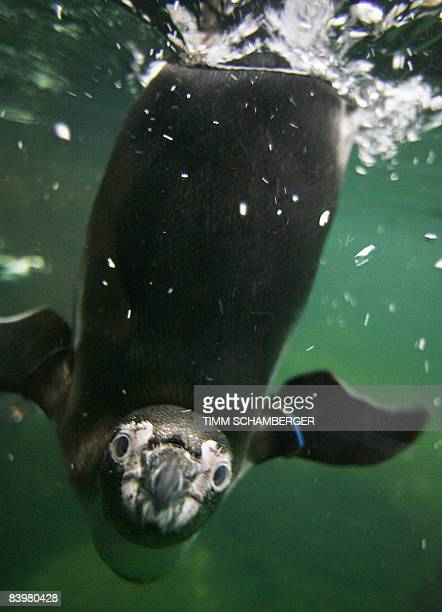 Humboldt penguin dives in his pool at the zoo in Nuremberg, southern Germany, on December 10, 2008. In the wild, Humboldt penguins live in the...