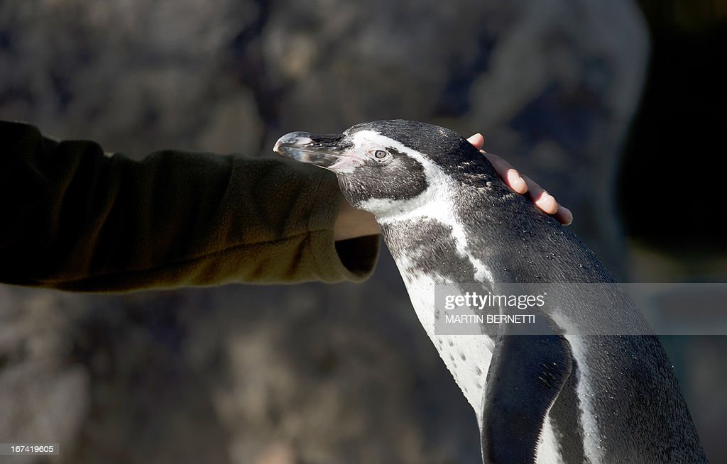 A Humboldt penguin is seen at Santiago's zoo on April 3, 2013. The El Nino phenomenon and the action of fishermen, whose nets tangle up hundreds of penguins each year, threaten the species in the area of Pajaros Ninos island.