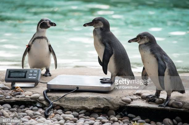 Humboldt penguin is weighed on scales during a photocall at London Zoo on August 24 to promote the zoo's annual weigh-in event. During the weigh-in,...