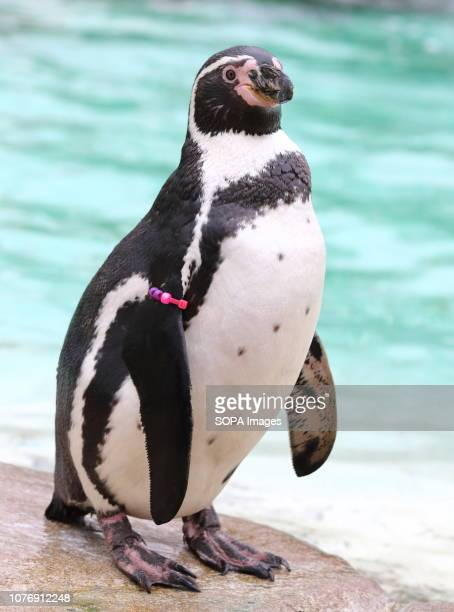 A humboldt Penguin seen during the Zoo's annual stocktaking Caring for more than 700 different species ZSL London Zoo's keepers face the challenging...