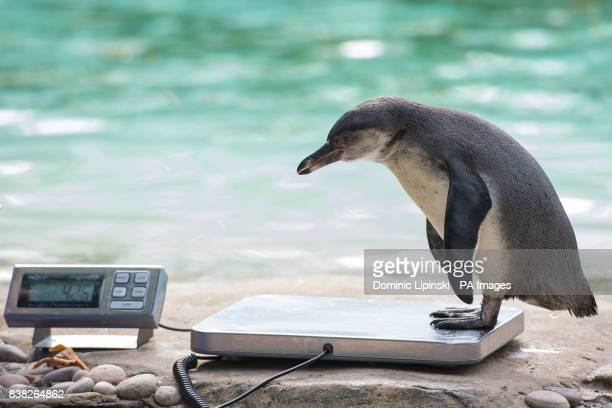 A Humboldt Penguin stands on a set of scales during the annual weighin at ZSL London Zoo