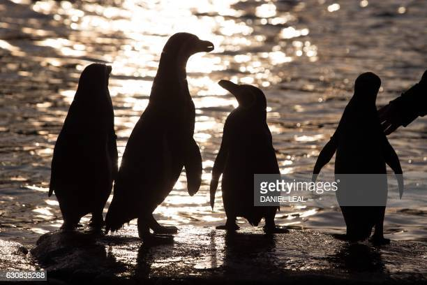 Humboldt penguins are silhouetted during the annual stocktake photocall at London Zoo in central London on January 3, 2017. The compulsory annual...