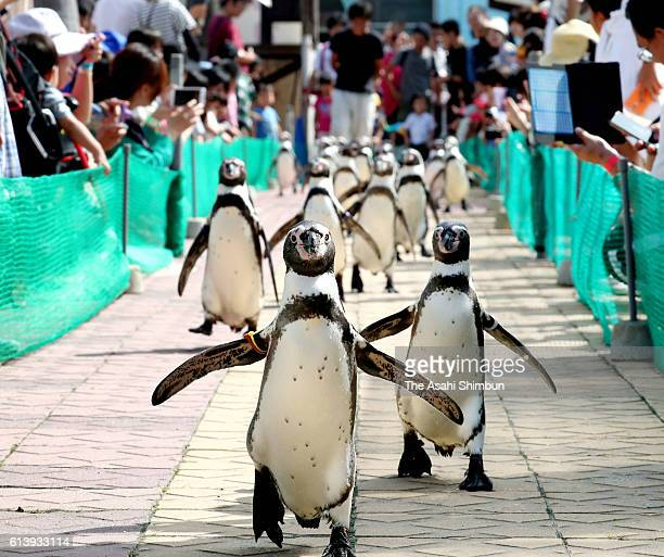 52 Humboldt penguins compete in the 100m race at MinamiChita Beach Land on October 1 2016 in Mihama Aichi Japan The event takes place every afternoon...