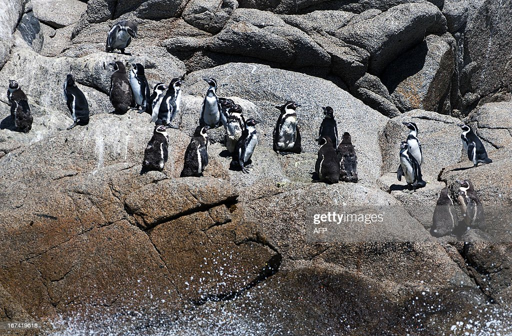 Humboldt penguins remain at the Pajaro Nino island, in Algarrobo seaside resort, some 120 km west of Santiago, on March 6, 2013