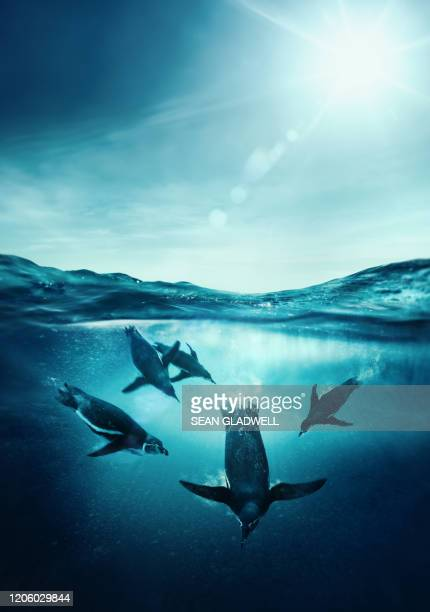 humboldt penguins underwater - undersea stock pictures, royalty-free photos & images
