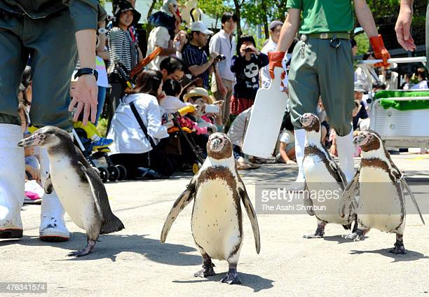 Humboldt penguins walk during the Fureai Festival at Omoriyama Zoo on June 7 2015 in Akita Japan