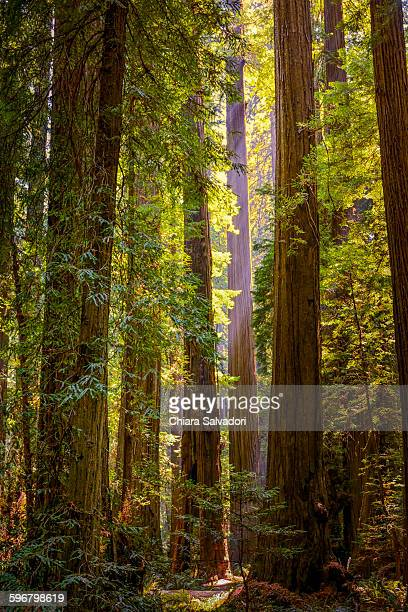 humboldt redwoods state park - humboldt redwoods state park stock photos and pictures