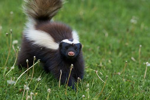 Humboldt's hog-nosed skunk 898221260