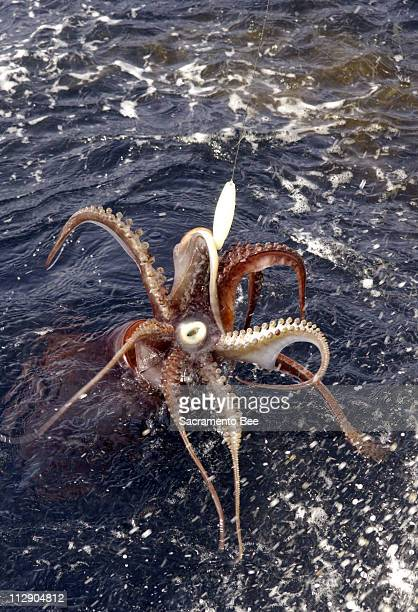 A Humbolt Giant Squid is reeled in at Cordell Banks California February 6 2006 The jumbo squid now thought to be lurking off the Pacific Northwest...