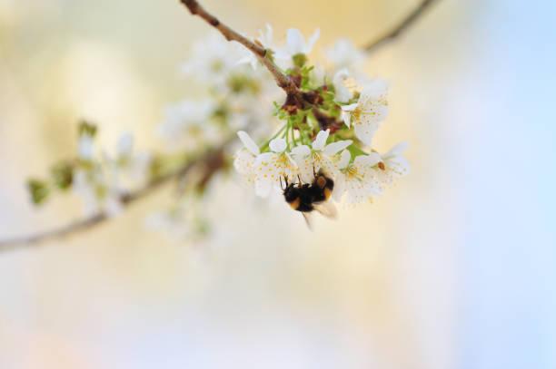 Hummel im Blütenbaum