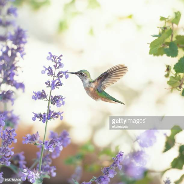 humminbird feeding on purple flowers - hummingbird stock pictures, royalty-free photos & images
