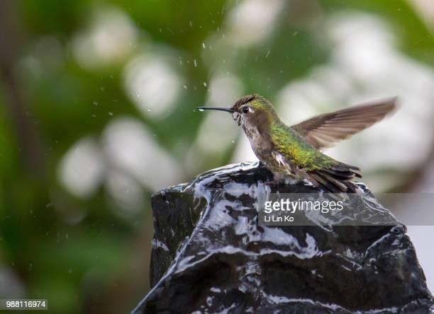 Humming Bird at Play