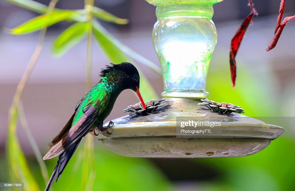 Humming bird drinking at a feeder. : Stock Photo