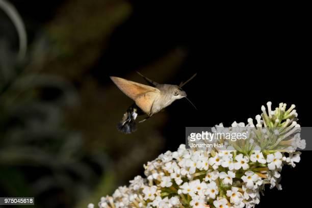 Humming Bird Hawk Moth 2