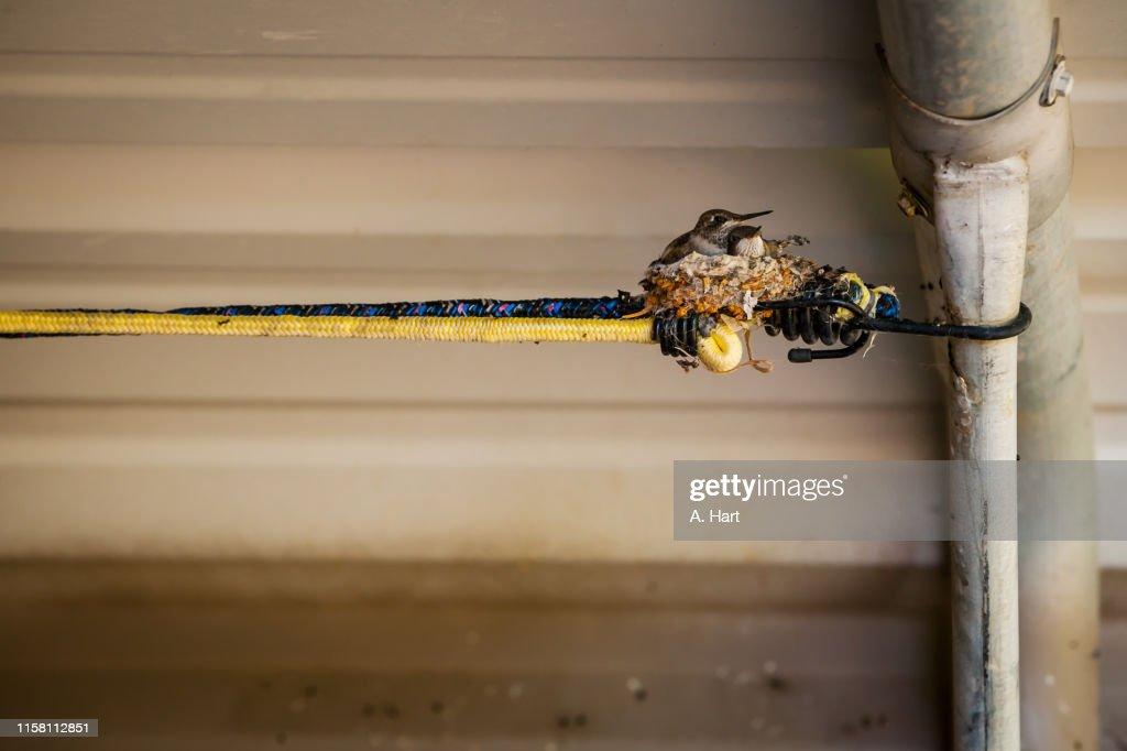 Humming Bird Nest : Stock Photo