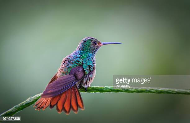 humming bird perching on branch, costa rica - colibri photos et images de collection
