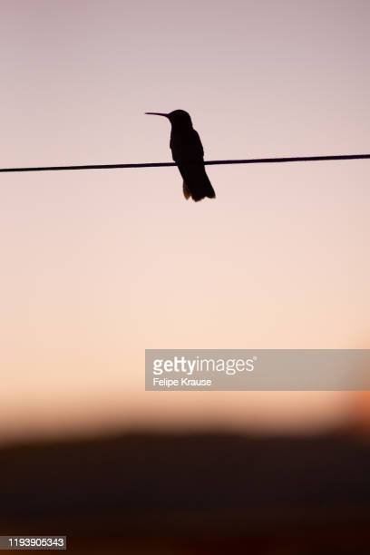 humming bird - perching stock pictures, royalty-free photos & images