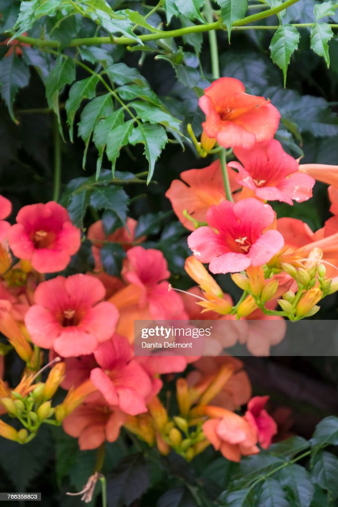 Humming Bird Vine Also Known As Trumpet Vine Or Trumpet Creeper Obidos  Portugal High-Res Stock Photo - Getty Images