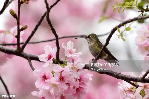 Humming bird X Cherry Blossom
