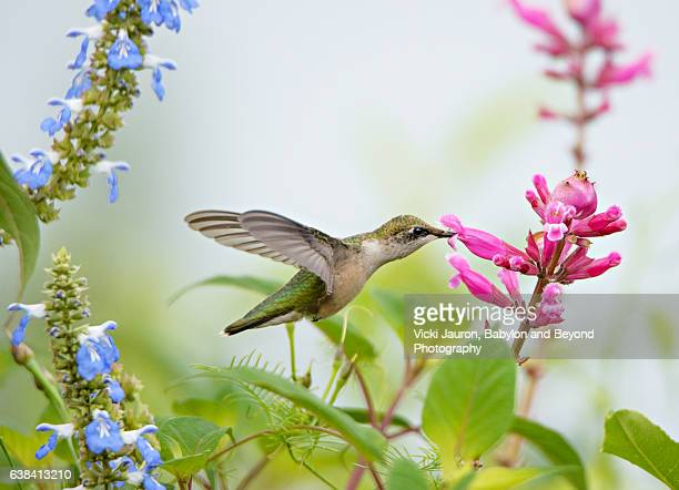 Hummingbird Against Blue and Pink Flowers