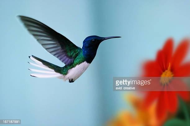 hummingbird and flowers - hummingbird stock photos and pictures
