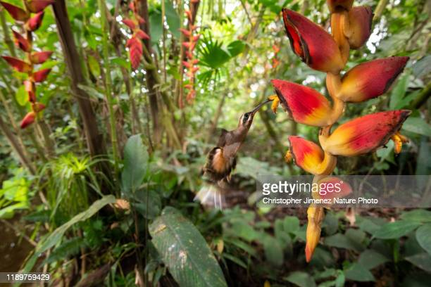 hummingbird and heliconia flower in costa rica - christopher jimenez nature photo stock pictures, royalty-free photos & images
