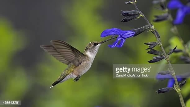 Hummingbird and Salvia