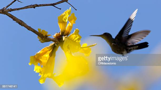 hummingbird and the golden trumpet tree - crmacedonio foto e immagini stock