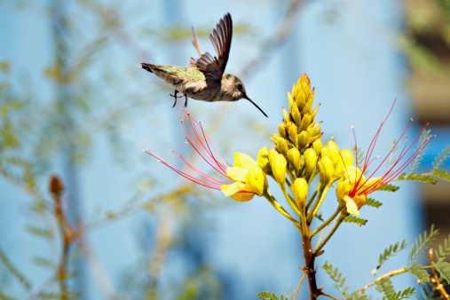 Hummingbird and yellow desert wildflower - gettyimageskorea