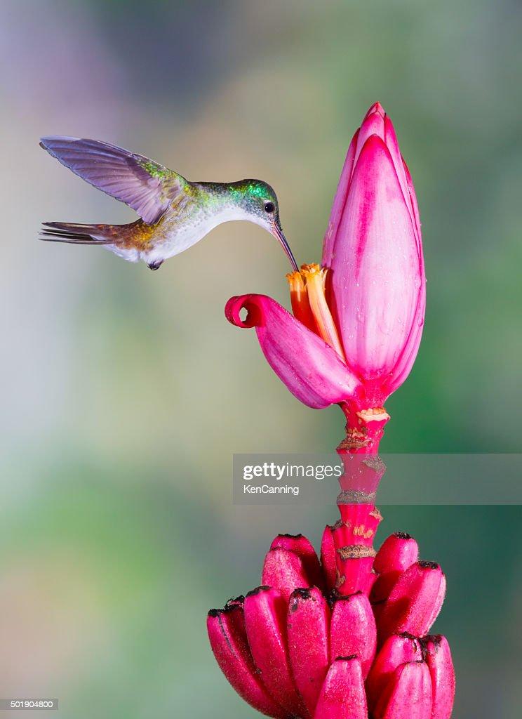 Hummingbird , Andean Emerald : Stock Photo