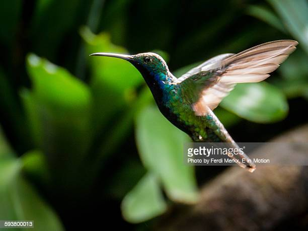 hummingbird argentina - fast shutter speed stock photos and pictures