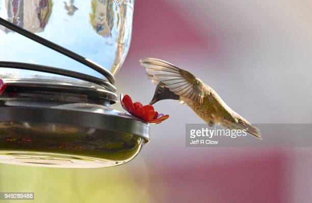 hummingbird at a home feeder in texas 3 - hummingbird stock pictures, royalty-free photos & images