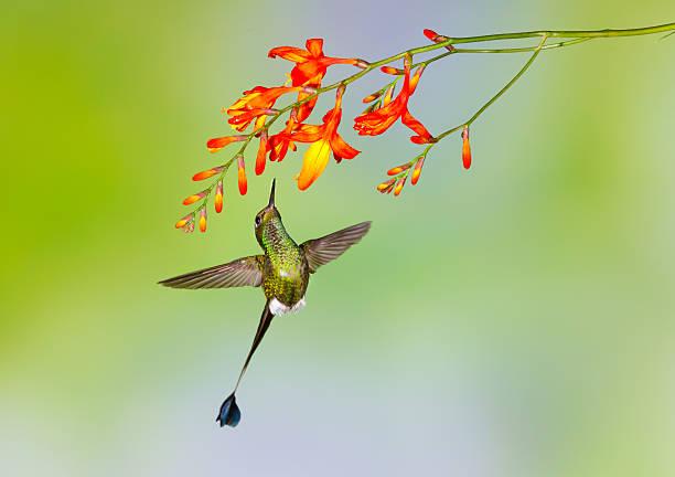 Hummingbird , Booted Racket-tail Wall Art