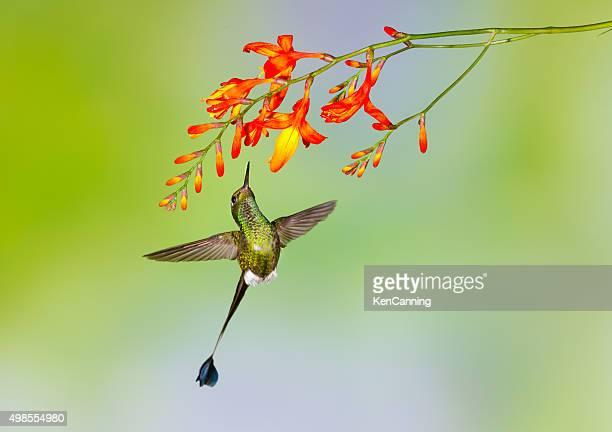 beija-flor, calçada raqueta-cauda - beija flor imagens e fotografias de stock