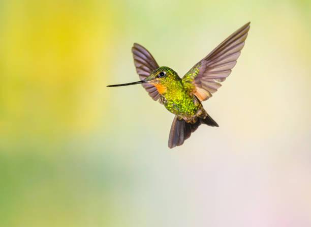 Hummingbird , Buff-winged Starfrontlet Wall Art