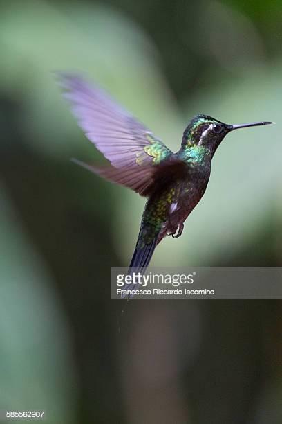 hummingbird, costa rica - iacomino costa rica foto e immagini stock