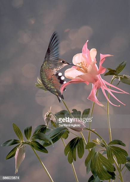 hummingbird drinking from columbine flower - columbine flower stock pictures, royalty-free photos & images