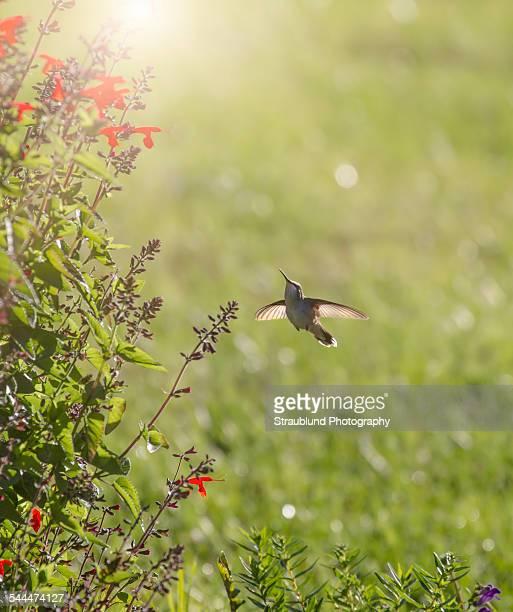 Hummingbird Early Morning