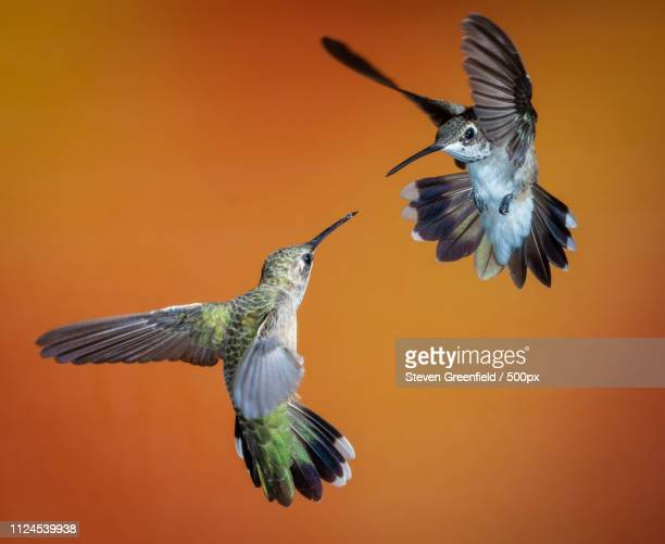 hummingbird faceoff - arizona bird stock pictures, royalty-free photos & images