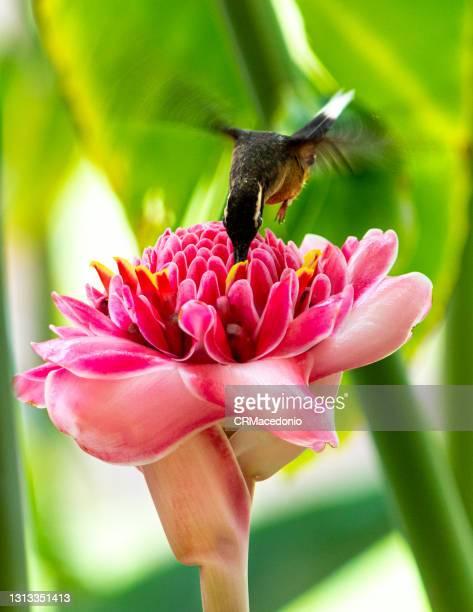 hummingbird feeding on an etlingera elatior. - crmacedonio photos et images de collection