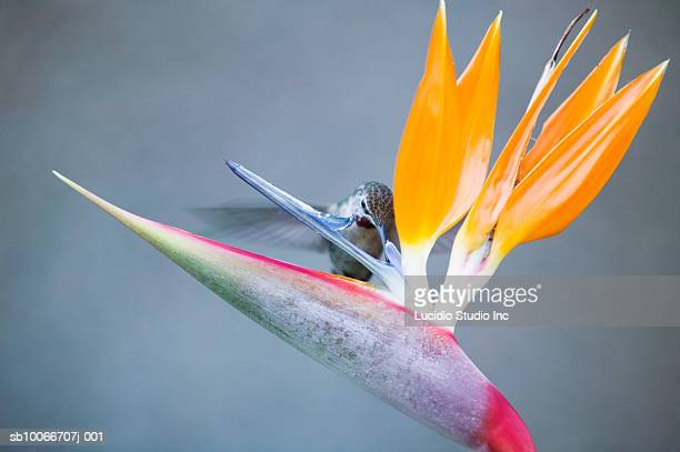 Hummingbird feeding on bird of paradise