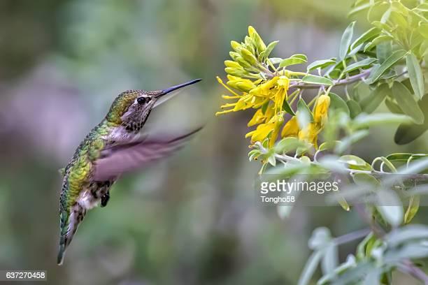 Hummingbird Feeding On Flowers