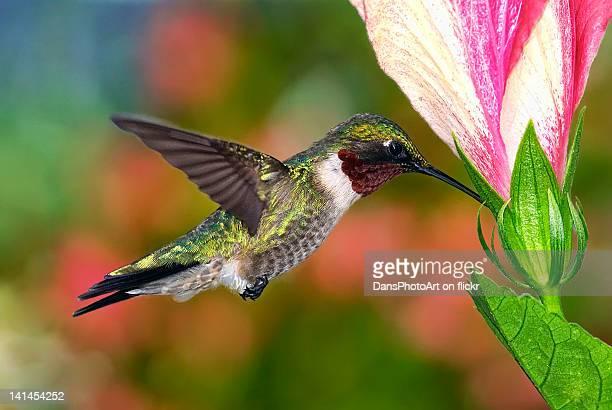 Hummingbird feeding on hibiscus