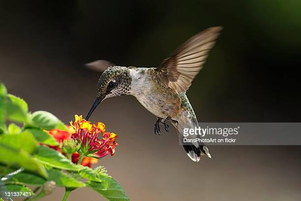 Hummingbird feeding on Lantana