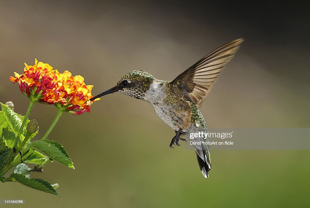 Hummingbird feeding on lantana : Stock-Foto